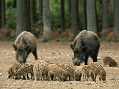 Group of Young Wild Boars Nose the Ground in Front of Two Adults-Norbert Rosing-Photographic Print