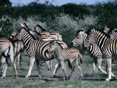 https://imgc.artprintimages.com/img/print/group-of-zebras-etosha-national-park-namibia_u-l-p4cmup0.jpg?p=0