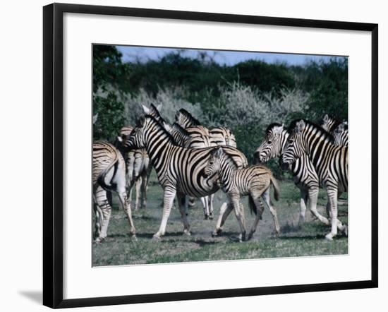 Group of Zebras, Etosha National Park, Namibia-Peter Ptschelinzew-Framed Photographic Print