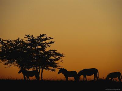 Group of Zebras Feeding at Dusk-Norbert Rosing-Photographic Print