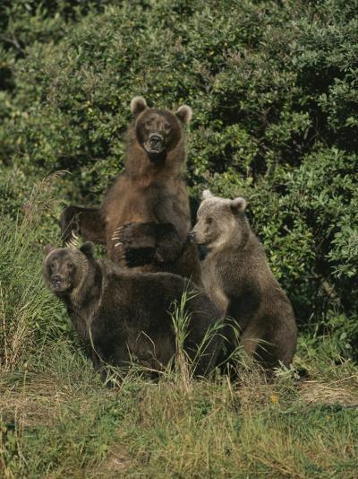 Group Portrait of Three Kodiak Brown Bears on Kodiak Island, Alaska-George F^ Mobley-Photographic Print