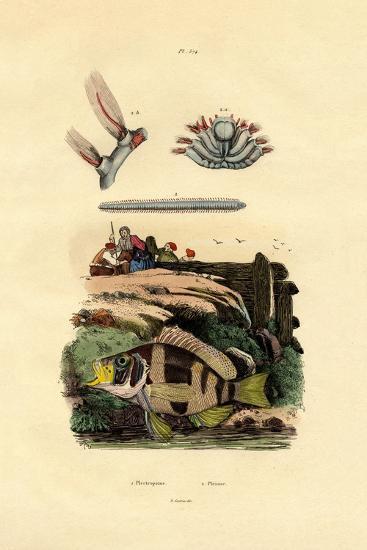 Grouper, 1833-39--Giclee Print