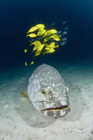 Grouper And Golden Trevallies-Matthew Oldfield-Photographic Print