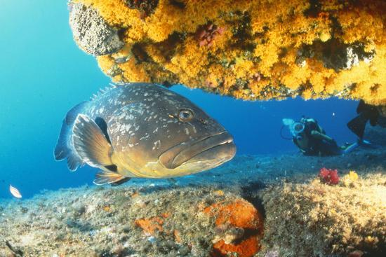 Grouper by Coral with Scuba Diver--Photographic Print