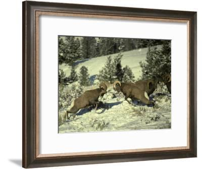Groups of Rams Fight to Determine Dominance and Pecking Order-Michael S^ Quinton-Framed Photographic Print