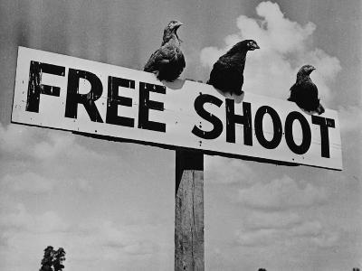 """Grouse on """"Free Shoot"""" Sign--Photographic Print"""
