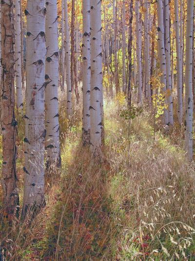 Grove of Aspen Trees at Sunset-Greg-Photographic Print
