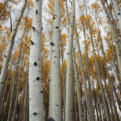 Grove of Coloful Aspens in Fall-Micha Pawlitzki-Photographic Print