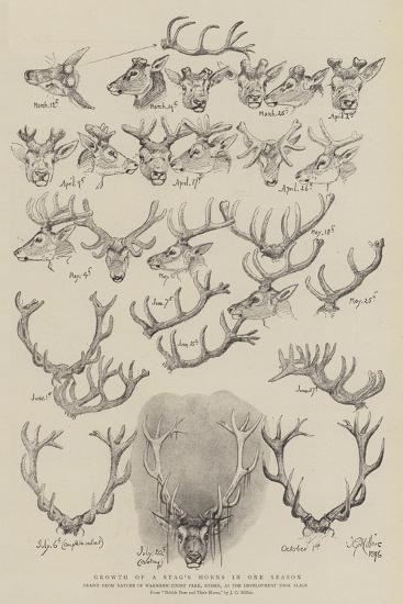 Growth of a Stag's Horns in One Season-John Everett Millais-Giclee Print