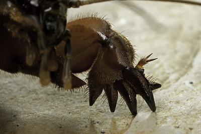 Gryllotalpa Gryllotalpa (European Mole Cricket) - Foreleg-Paul Starosta-Photographic Print
