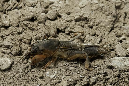 Gryllotalpa Gryllotalpa (European Mole Cricket)-Paul Starosta-Photographic Print