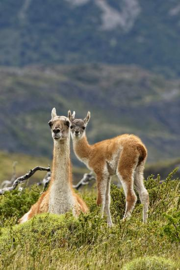 Guanaco and baby, Andes Mountain, Torres del Paine National Park, Chile. Patagonia-Adam Jones-Premium Photographic Print