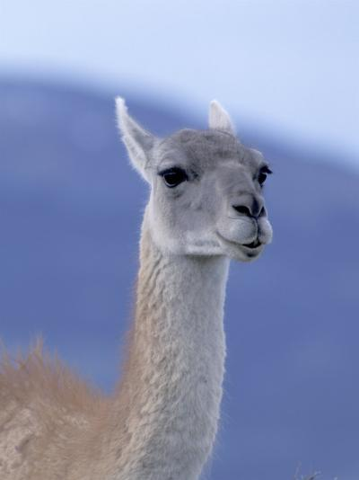 Guanaco in Torres del Paine National Park, Coquimbo, Chile-Andres Morya-Photographic Print