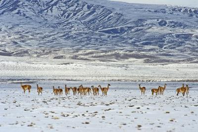 Guanaco (Lama Guanicoide), Patagonia, Argentina, South America-Pablo Cersosimo-Photographic Print