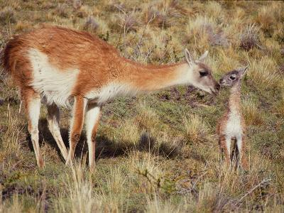 Guanaco Nuzzles Her Newborn, Only Minutes Old-Jeff Foott-Photographic Print