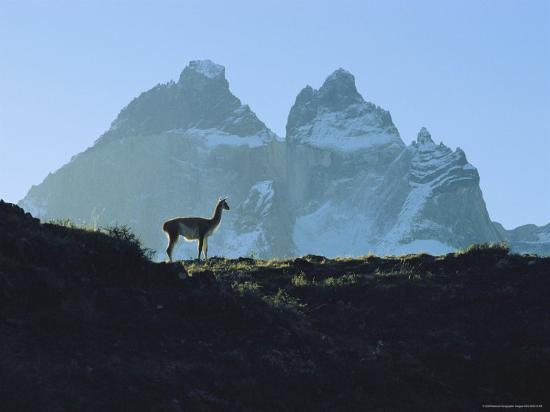 Guanaco Stands Against Mountain Backdrop, Andes Mountains, Tierra del Fuego, Chile-Sam Abell-Photographic Print