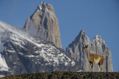 Guanaco with Cordiera del Paine, Torres del Paine, Patagonia, Chile-Pete Oxford-Photographic Print