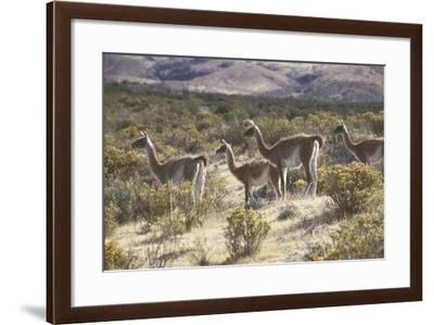 Guanaco--Framed Photographic Print