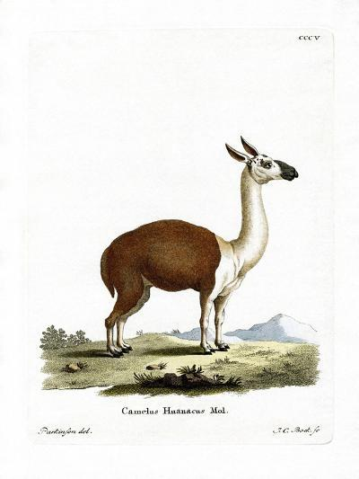Guanaco--Giclee Print