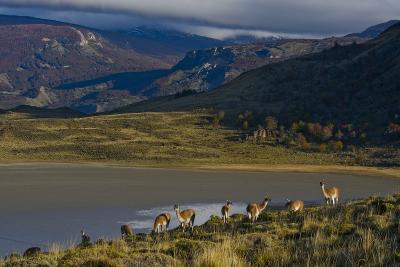 Guanacos Graze and Roam in the Grasslands of the Chacabuco Valley-Beth Wald-Photographic Print