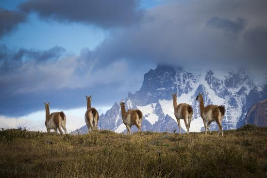 Guanacos (Lama Guanicoe) Grazing With Cuernos Del Paine Peaks In The Background-Jay Goodrich-Photographic Print