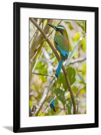 Guardabarranco (Turquoise-Browed Motmot)-Rob Francis-Framed Photographic Print