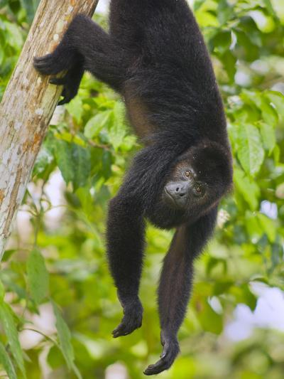 Guatemalan Black Howler Monkey (Alouatta Pigra) Climbing-Kevin Schafer-Photographic Print