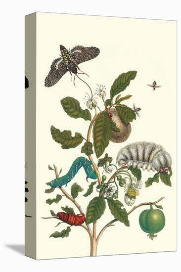 Guava and Tobacco Hornworm and a Podalia Moth-Maria Sibylla Merian-Stretched Canvas Print