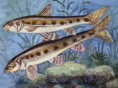 Gudgeon (Gobio Gobio), Cyprinidae, Drawing--Giclee Print