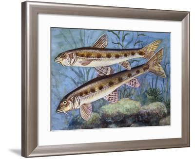 Gudgeon (Gobio Gobio), Cyprinidae, Drawing--Framed Giclee Print