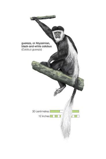 Guereza or Abyssinian, Black-And-White Colobus (Colobus Guereza), Monkey, Mammals-Encyclopaedia Britannica-Art Print
