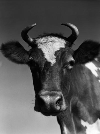 Guernsey Cow-H^ Armstrong Roberts-Photographic Print