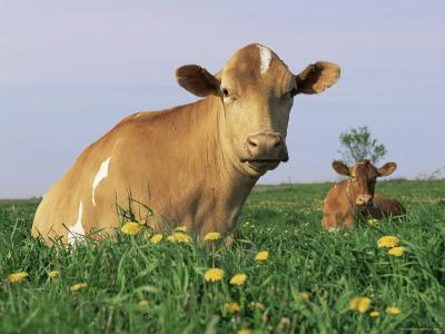 Guernsey Cows, at Rest in Field, Illinois, USA-Lynn M^ Stone-Photographic Print