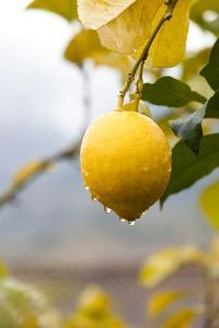 Raindrops Dripping from Lemons. by Guido Mieth