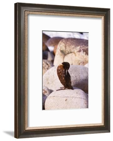 Guillemot Preening Feathers Following Oil Spill, Cornwall, 20th century-CM Dixon-Framed Photographic Print