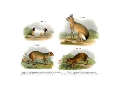 Guinea Pig, 1860--Giclee Print
