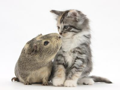 Guinea Pig and Maine Coon-Cross Kitten, 7 Weeks, Sniffing Each Other-Mark Taylor-Photographic Print