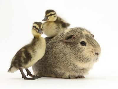 Guinea Pig with Two Mallard Ducklings, One Sitting on its Back-Mark Taylor-Photographic Print