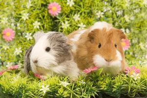 Guinea Pigs with Flowers