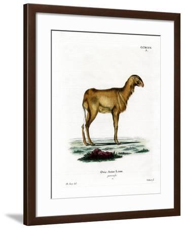 Guinea Sheep--Framed Giclee Print