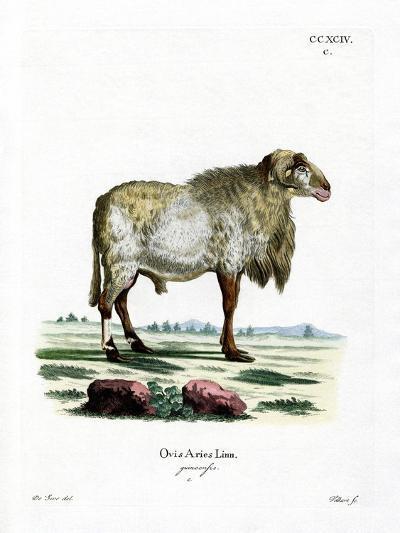 Guinea Sheep--Giclee Print