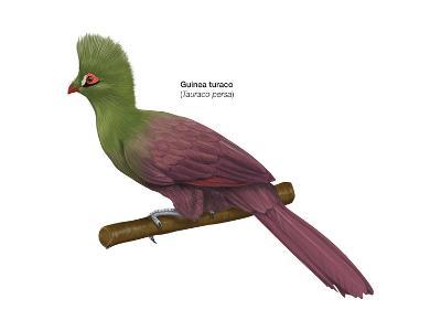 Guinea Turaco (Tauraco Persa), Birds-Encyclopaedia Britannica-Art Print