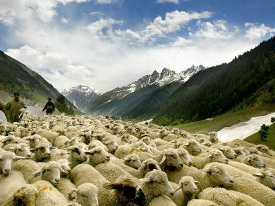 Gujjar Nomadic Shepherds Herd Their Sheep on the Outskirts of Srinagar, India--Photographic Print