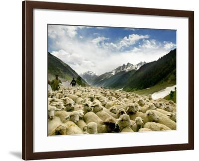 Gujjar Nomadic Shepherds Herd Their Sheep on the Outskirts of Srinagar, India--Framed Photographic Print