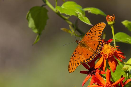 Gulf Fritillary Butterfly Nectaring on Flowers-Larry Ditto-Photographic Print