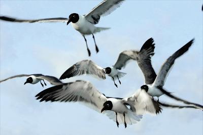 Gulls 1-Alan Hausenflock-Photographic Print