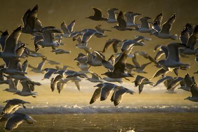 Gulls At Oswald West State Park, OR-Justin Bailie-Photographic Print
