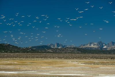 Gulls Fly over an Alkaline Pond in the Sierra Nevada Near Mammoth Lakes, California-Gordon Wiltsie-Photographic Print