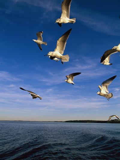 Gulls in Flight-Steve Winter-Photographic Print