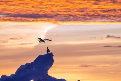 Gulls on Glacial Ice at Sunset-Rich Reid-Photographic Print